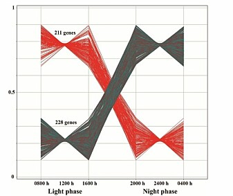 (Forskningsgruppa/Minou) målte korleis genar uttrykte seg på seks forskjellige tidspunkt i løpet av 24 timar - tre tidspunkt innanfor det dei kalla lysfasen og tre innanfor nattfasen. Dei fann to ulike grupper av genar: Ei gruppe starta dagen med høge nivå av uttrykk. Ei anna gruppe viste høge nivå av uttrykk mot slutten av dagen. Ingen av gruppene senka seg heilt til null, det er snakk om høge og låge nivå. (Tabell: Minou Nirvani, OD/UiO)