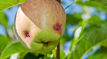 KORT OM HAGEKRYP: Sommerfugl på epleslang
