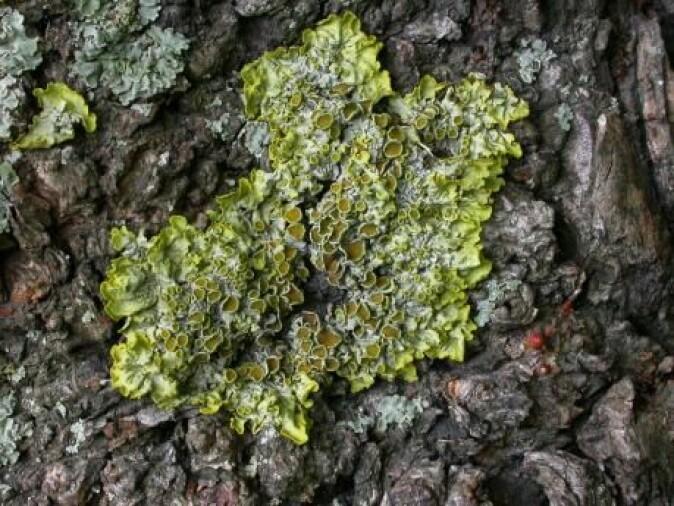 Du har garantert sett massevis av lav på trærne og kanskje trodd at det var mose. Det er en sopp som faktisk hjelper planten ved å utveksle vann og næringsstoffer. (Foto: Jacob Heilmann-Clausen)