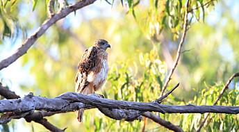 Sårbare arter i Australia har mistet 7,7 millioner hektar av sine leveområder