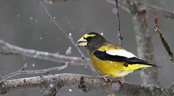 3 milliarder fugler har forsvunnet i USA og Canada