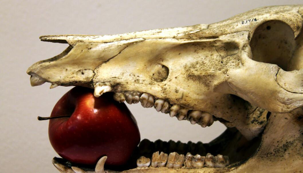 Dietten til middelalderens julegris kan spores i den kjemiske sammensetningen i gamle bein. (Foto: NTNU Vitenskapsmuseet)