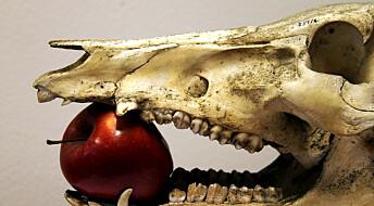 Julegrisen spiste som rovdyr