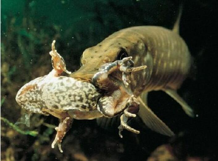 Gjedda spiser mest fisk, men tar også til takke med en frosk om anledningen skulle by seg. (Foto: Wikimedia Commons/Shao)