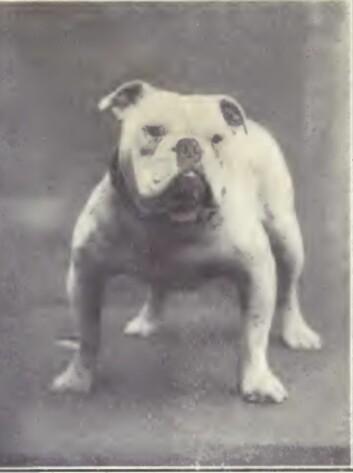 Sånn så en engelsk bulldog ut i 1915. (Foto: Boka «Dogs of all nations» fra 1915)