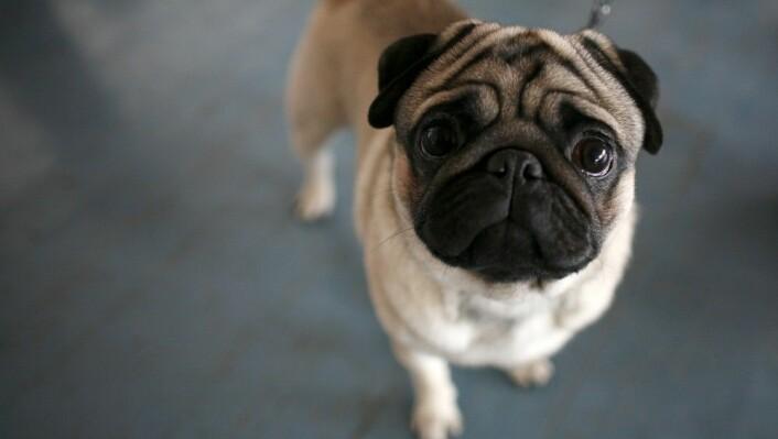 Mops er en av hunderasene som har trøbbel på grunn av ekstremavl. Den korte nesa kan gjøre det vanskelig å puste, i tillegg sliter mange med leddproblemer, hudproblemer og det at øynene er for store. (Foto: Stoyan Nenov, Reuters)