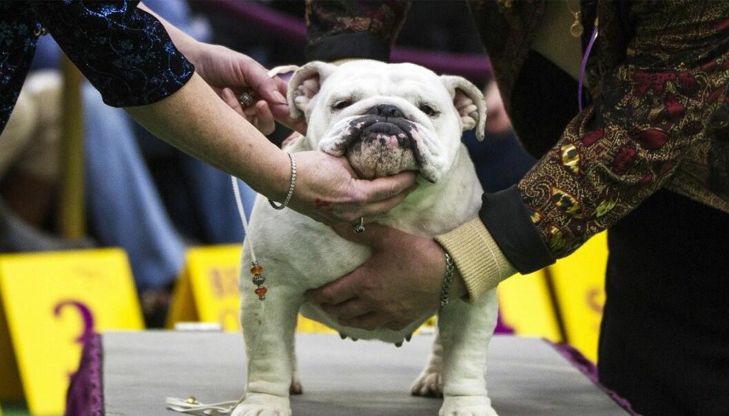 Engelske bulldoger er nå avhengige av menneskehjelp for å føde valper. (Foto: Lucas Jackson/Reuters)