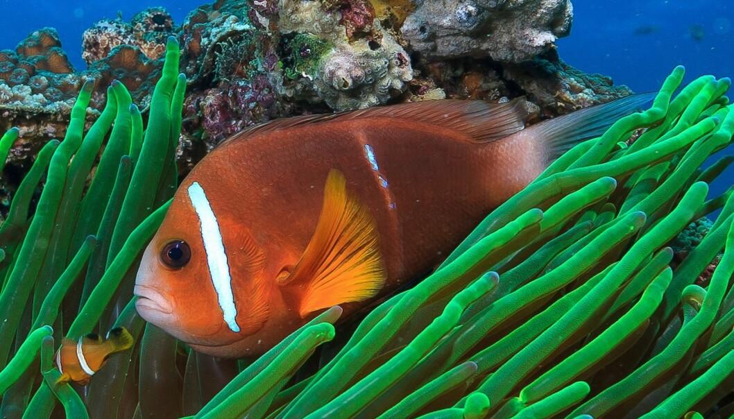 Klovnefisken er hjemmekjær på korallrevet, men når den er larve kan den svømme langt. (Foto: Tane Sinclair-Taylor)