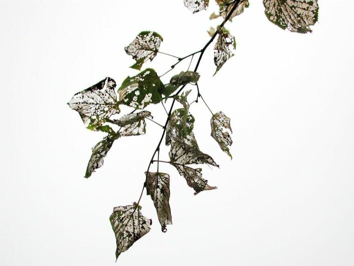 Skade etter lindebladveps - bare bladnervene står igjen. (Foto: Erling Fløistad)
