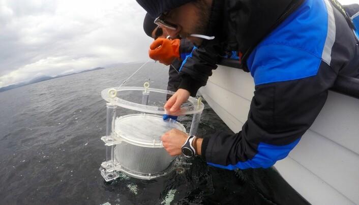Forskarar studerer svømmeretninga til hyseyngel. (Foto: Havforskningsinstituttet)