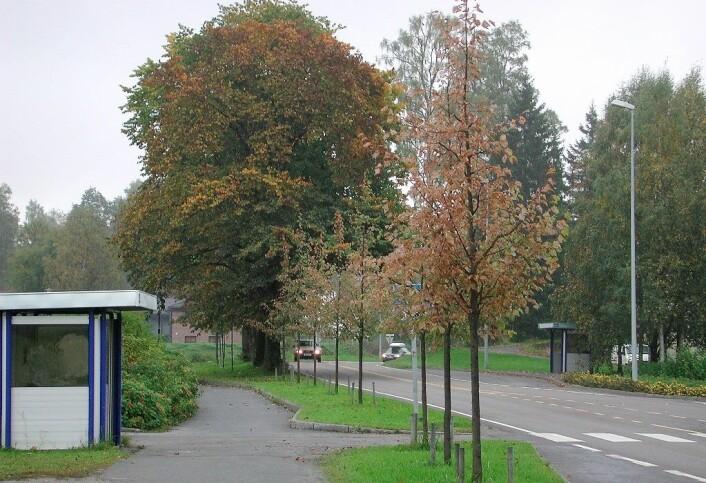 Lindebladvepsen angriper ofte unge trær. (Foto: Erling Fløistad)