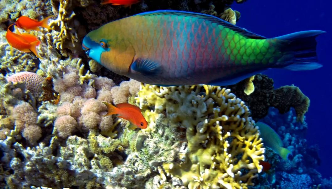 Papegøyefisken renser korallrevet ved å spise alger. (Foto: Colourbox)