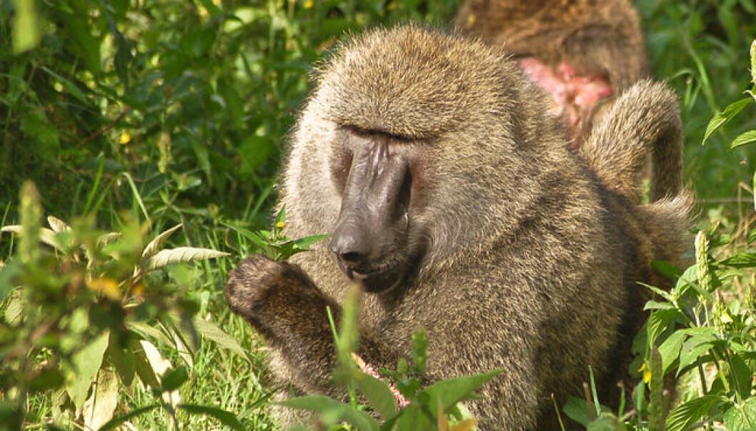 Bavianen Papio anubis er kjent for å spise planter med medisinsk virkning. Wikimedia Commons