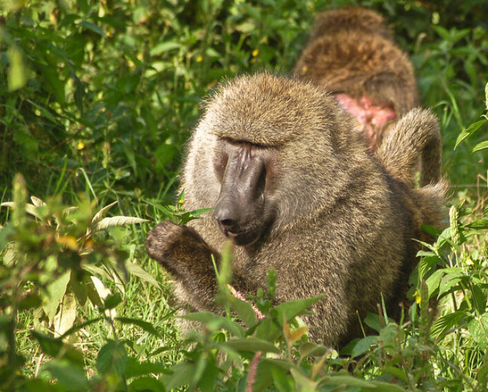 Bavianen Papio anubis er kjent for å spise planter med medisinsk virkning. (Foto: Wikimedia Commons)