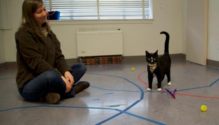 Dene katten har en sikker tilknytning til eieren, ifølge forskerne. Den veksler mellom å søke trygghet hos mennesket sitt og å utforske det nye miljøet. (Foto: Kristyn Vitale, Oregon State University.)