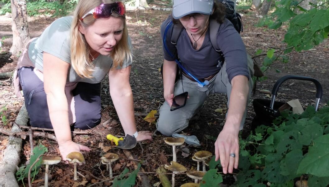 Flust av fluesopp. Inger Skrede og Sam Harrow trengte ikke lete lenge etter grønne fluesopper. (Foto: Eivind Torgersen / UiO)