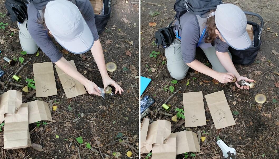 Sam Harrow samler grønn fluesopp i Grønliparken naturreservat på Jeløya. Først graver hun den opp med rot og det hele før hun børster den ren og putter den i en godt merket papirpose. (Foto: Eivind Torgersen / UiO)