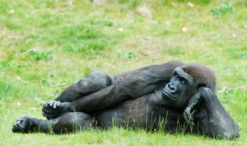 Her har en stor hunngorilla tatt en pause. (Foto: iStockphoto.com)