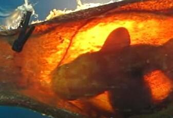 Hva opplever haien i egget?