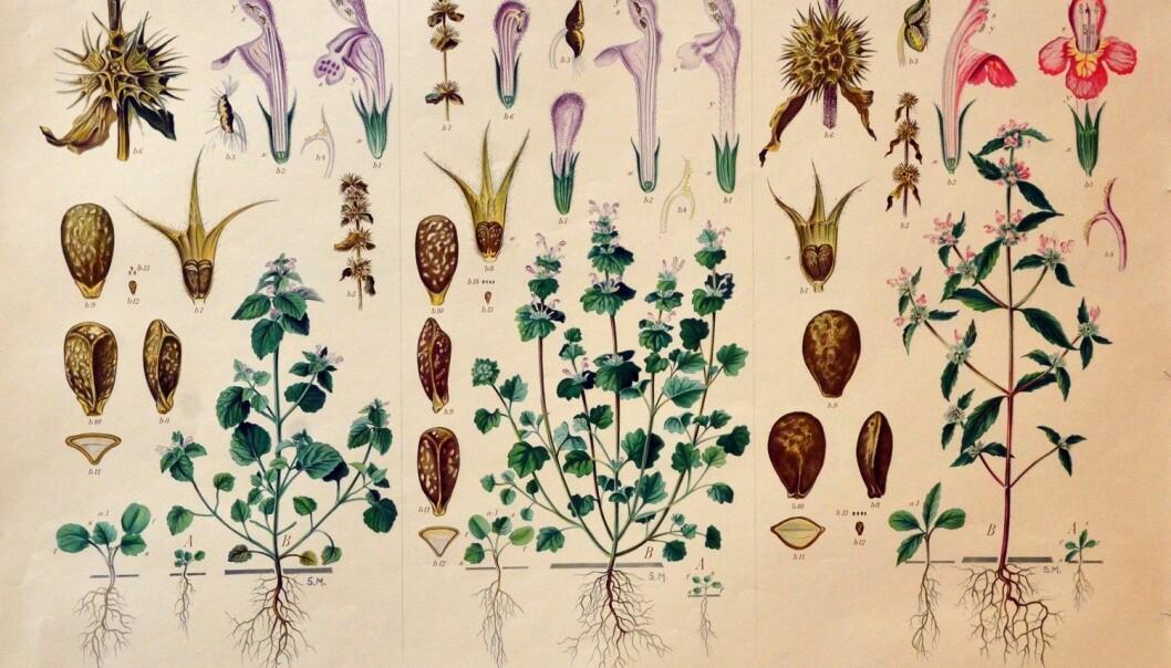 Botanisk illustrasjon har tradisjonelt vore eit særs viktig hjelpemiddel innan fleire forskingsgreiner. Bildet viser ein av Korsmos ugrasplansjar, illustrert av teiknaren Sara Mørk. Den klassiske floraen kan ikkje erstattast av digitale databankar. (Foto: May Grethe Lerum)