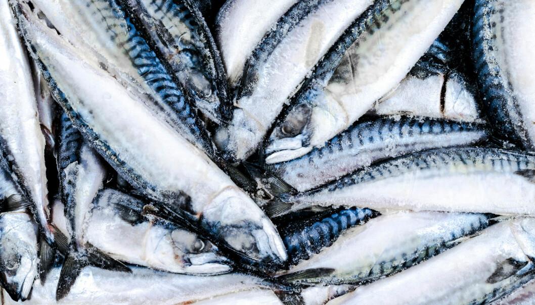 Når makrell og sild pakkes i esker og fryses, får mange individer en bananform som den ofte beholder etter tining. (Illustrasjon: BigTunaOnline / Shutterstock / NTB scanpix)