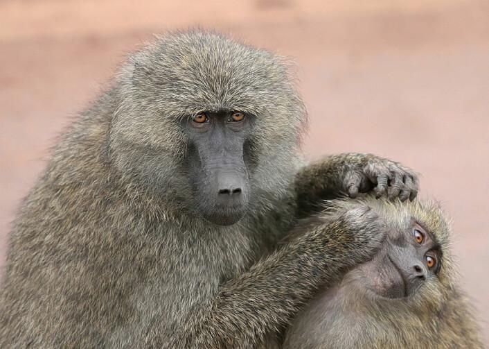 Olivenbavianer som steller hverandre. Disse apene var ikke med i prosjektet. (Illustrasjonsfoto: Offentlig eiendom)