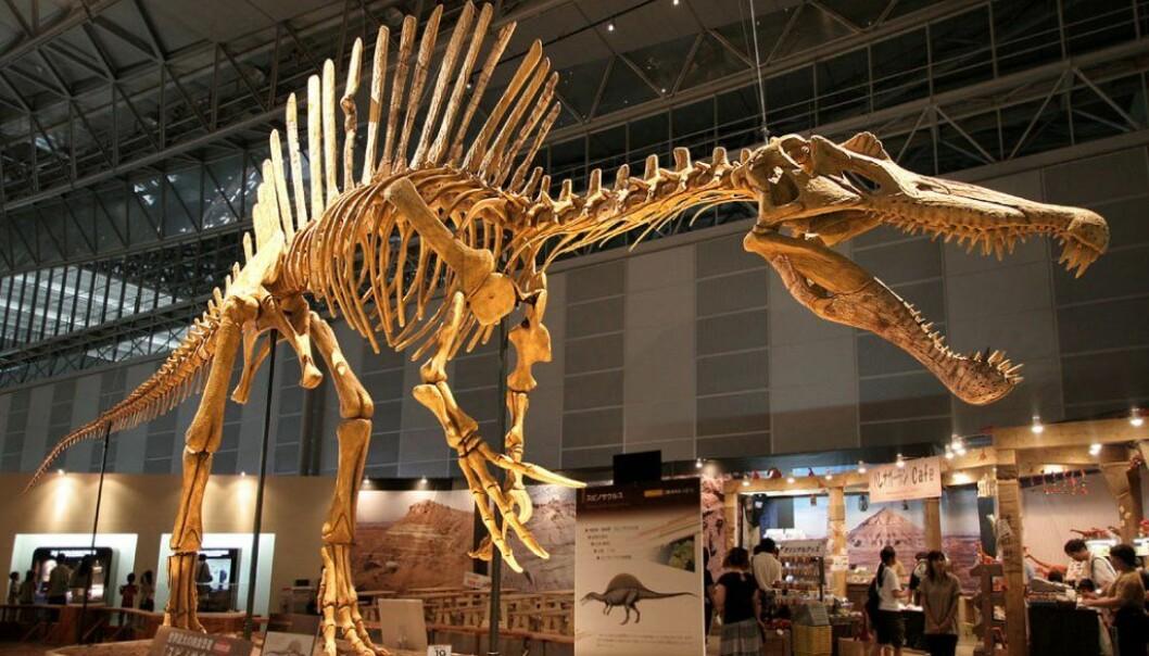 Et rekonstrurert Spinosaurus-skjelett. Nye funn viser at kjempen også var svømmedyktig.   (Foto: Wikimedia commons)
