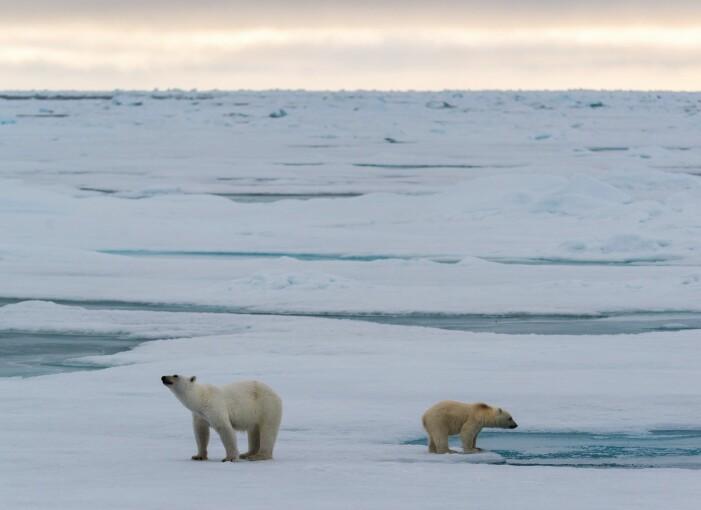 En liten isbjørnfamilie på sjøisen ved Svalbard. (Foto: Andreas Wolden / Havforskningsinstituttet)