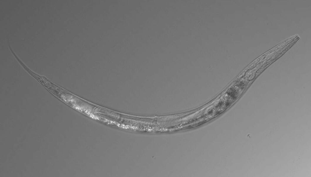 Denne mikroskopiske rundormen er et hardført vesen. Auanema sp. kan leve i ekstreme forhold med høye arsenikknivåer. (Foto: Caltech)