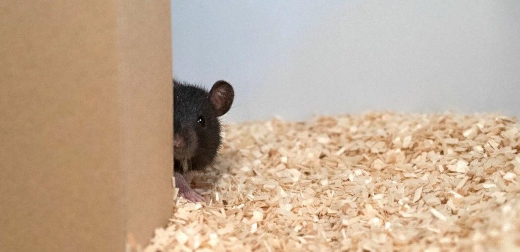 Rotter lærte å leke gjemsel med forskerne
