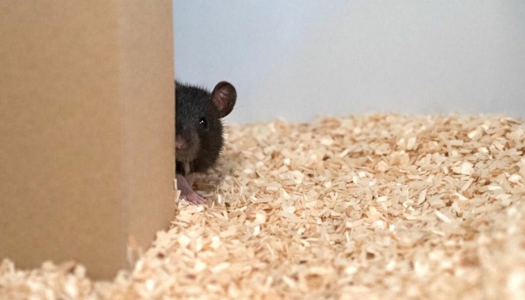 En av rottene leker gjemsel med forskeren. (Foto: Reinhold, Sanguinetti-Scheck, Hartmann & Brecht)