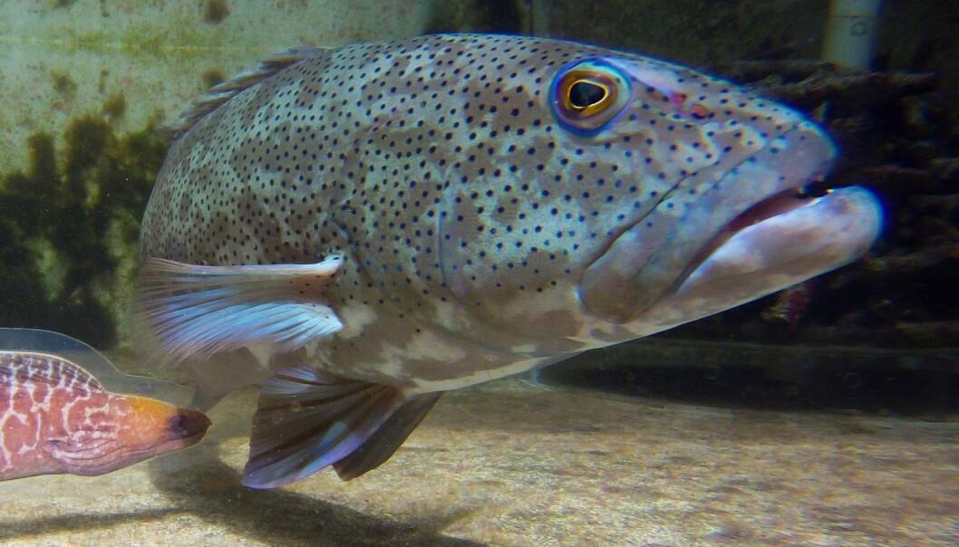 Rovfisk samarbeider for å fange byttet. Her har forskerne lurt en fisk fra Stillehavet til å samarbeide med en ålefisk av plast. (Foto: Alexander Vail)