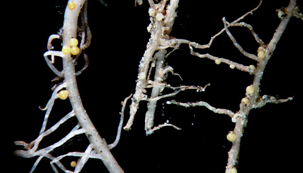 Potetrøtter med cyster av gul PCN. (Foto: J. Øydvin/Bioforsk)