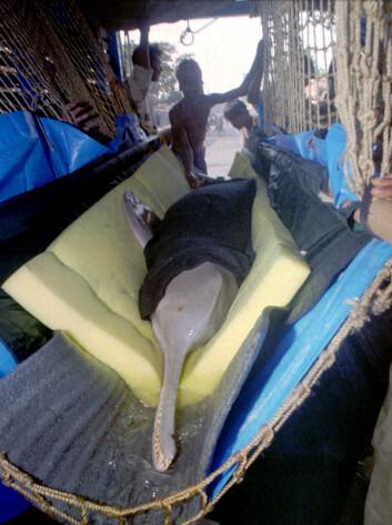 En Indisk elvedelfin som ble reddet fra en vanningskanal i India, og kjøres tilbake for å slippes ut i Ganges. Legg merke til den veldig lange snuten. (Foto: Kishore/Scanpix)