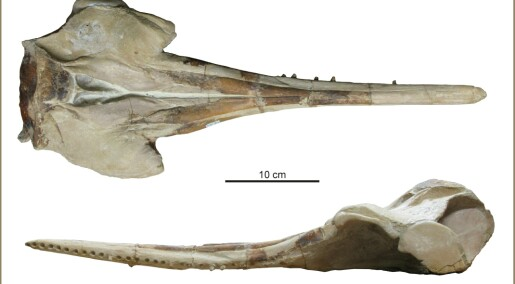 Oppdaget utdødd delfinart i Peru
