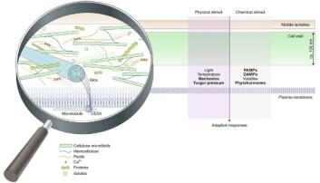 Cellevegger er avanserte strukturer. Forståelsen for rollene deres har økt kraftig de siste årene. (Illustrasjon: Vaahtera et al, Nature Plant)