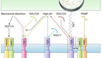 Figuren viser noen av mekanismene som utløses i reseptorene THE1 og FER når en plante utsettes for angrep. For en mer utfyllende beskrivelse se referansen nederst i saken. (Illustrasjon: Vaahtera et al, Nature Plants)