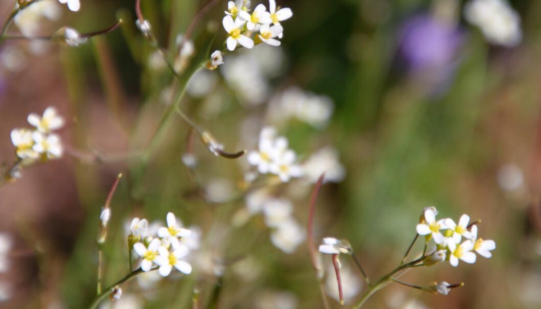 Vårskrinneblom kan gi oss noen av svarene på hvordan planter forsvare seg. (Illustrasjon: lehic / Shutterstock / NTB scanpix)