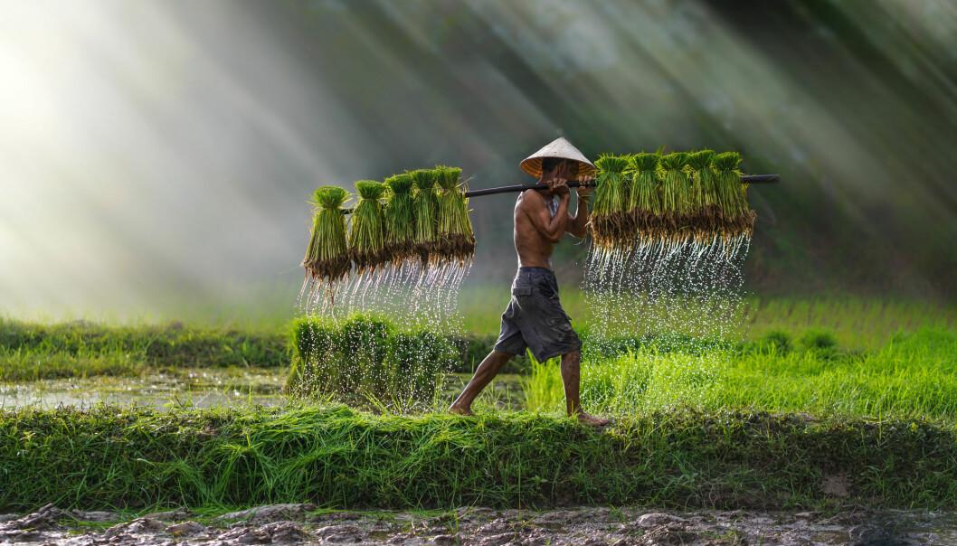 Kunnskapsfeltet kan bli viktig for å utvikle nye varianter av matplanter som ris og mais. (Illustrasjon: TOM...foto / Shutterstock / NTB scanpix)