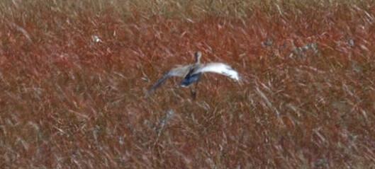 Sensasjonell fugleobservasjon på Lesja