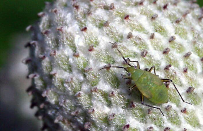Bladlus er cirka to millimeter lange, med tynnhudet eggformet bakkropp, tre til seks leddete antenner og tre par ben. (Foto: Jakub Vacek)