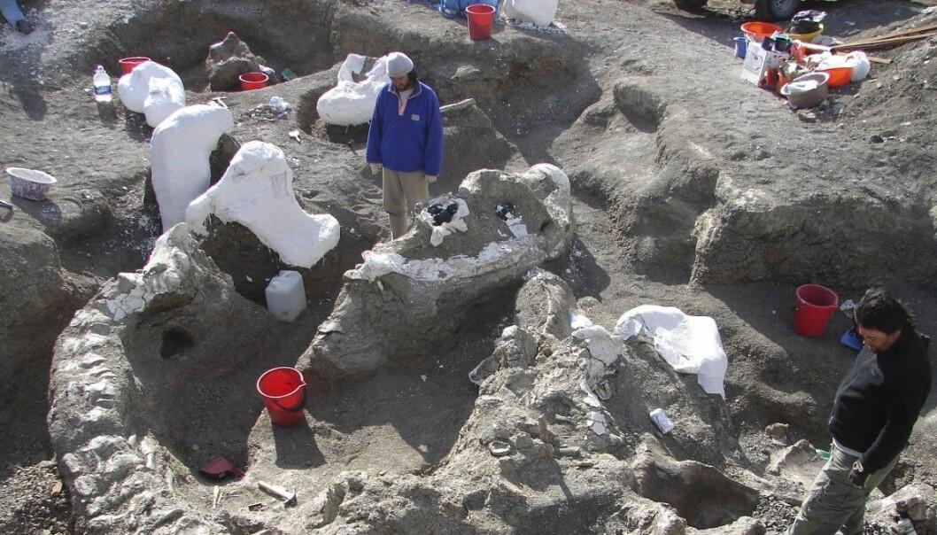 Forskarane fann gigant-skjelettet under eit utgravingsprosjekt i Argentina i perioden 2005-2009. Først no blir funna presenterte for allmennheita. (Foto: Kenneth Lacovara, Reuters)