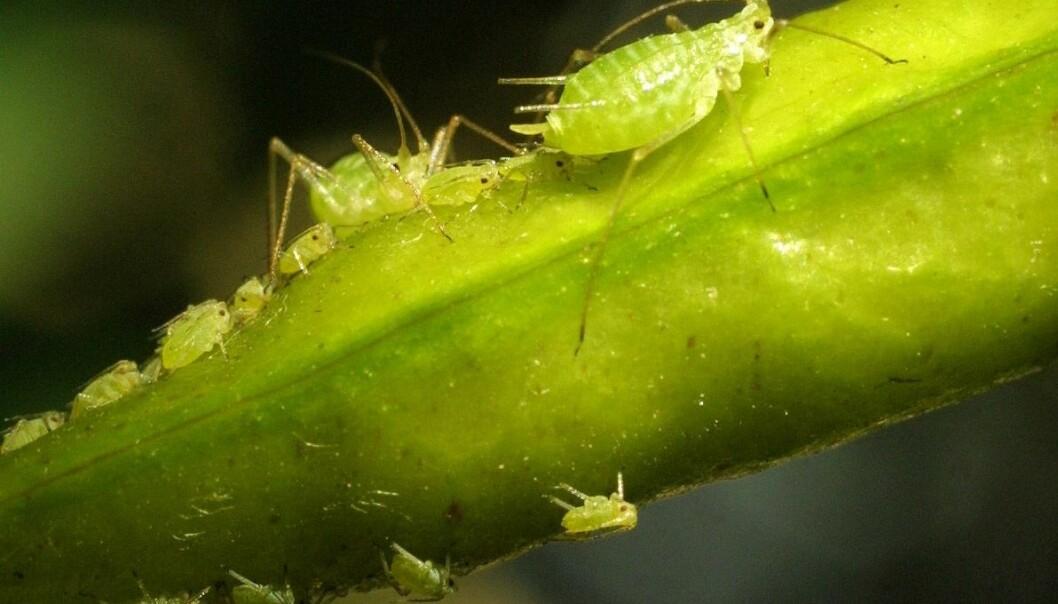 Bladlusene (Aphidoidea) hører til nebbmunnene (Hemiptera). (Foto: Jaakko Hakulinen)
