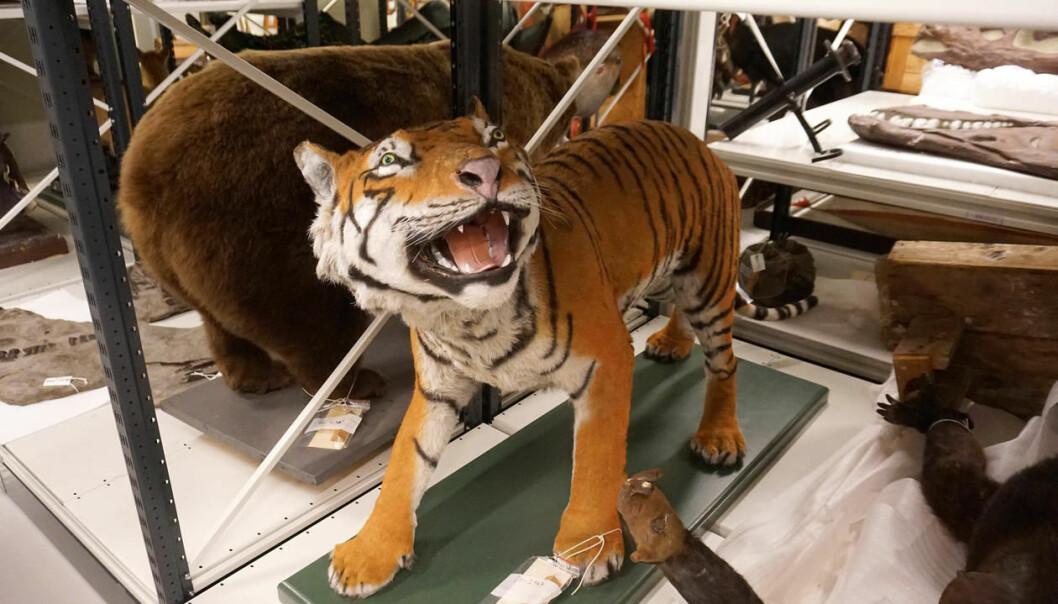 En gang i museets historie fant noen ut at denne tigeren måtte males. Spørsmålet er om vedkommende hadde sett en ekte tiger noen gang. (Foto: Torill Sommerfelt Ervik / UiB)