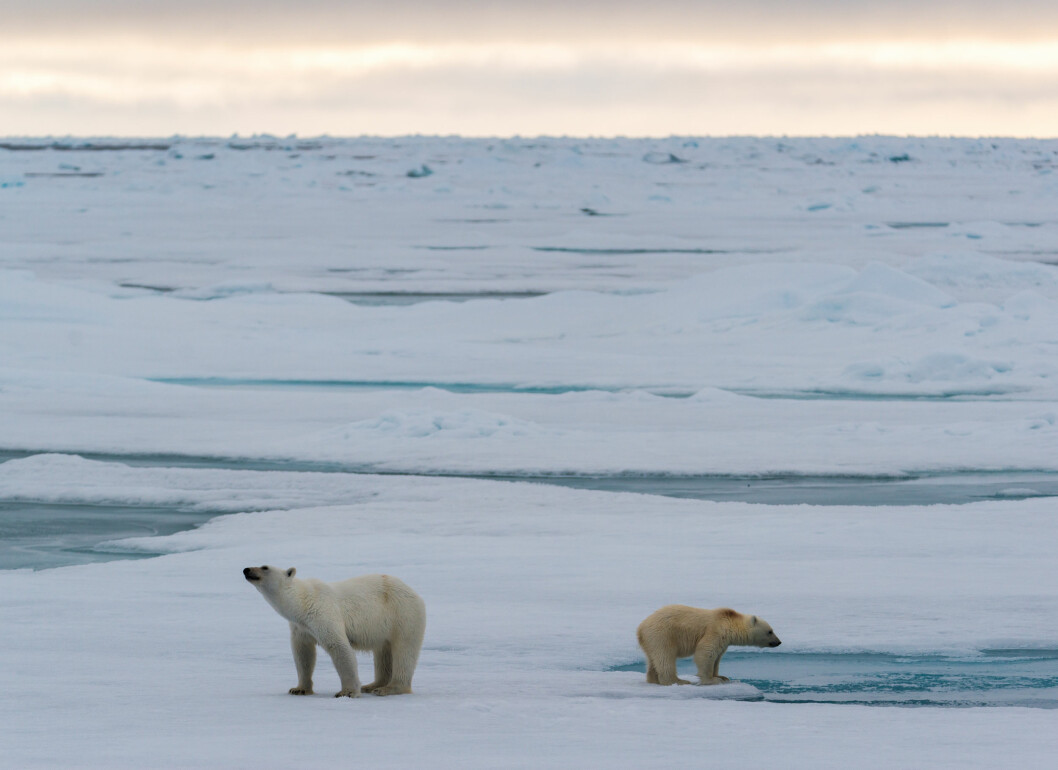 A family of polar bears on the sea ice near Svalbard. (Foto: Andreas Wolden / Havforskningsinstituttet)