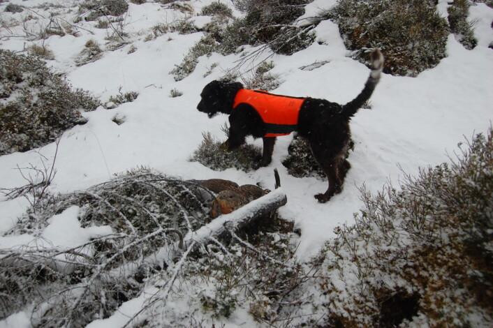 Wachtelhunden Gaisa ble spesialtrent for å lete etter død skogsfugl i linjetraseene. Her har hun lokalisert en røy. (Foto: Roger Meås. /NINA)