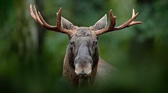 Påvirker vi genene til skogens konge?