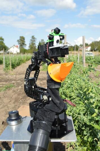 Roboten må finne ut kva som er ein ertebelg og kva som er eit blad. (Foto: Martin Fodstad Stølen)