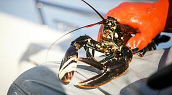 Ny berekning: Nordmenn fiska over 322 000 humrar i fjor