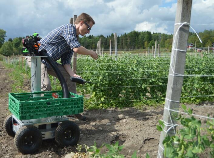 Martin Fodstad Stølen har testa ut erteplukkar-roboten på Nøtterøy. (Foto: Audun Korsæth)
